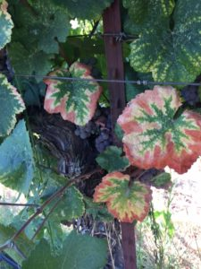 Lodi Vines